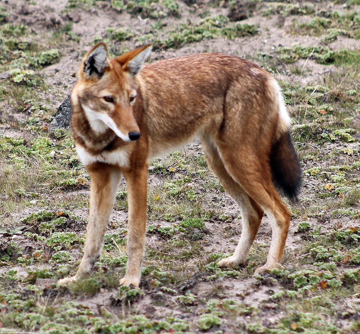 ethiopian wolf   wikipedia
