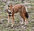 Canis simensis.jpg