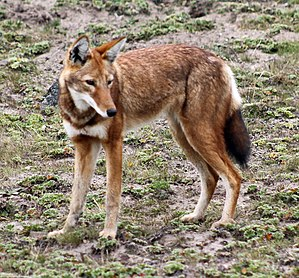 Fox - Ethiopian wolf, native to the Ethiopian highlands
