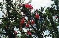 Cantua buxifolia on Taquile (3400123340).jpg