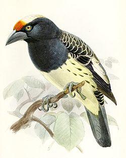 Capitosquamatus.JPG