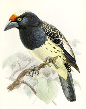 Orange-fronted barbet - Female