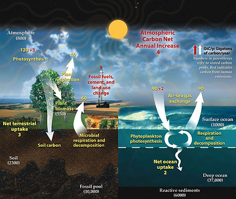 This diagram of the fast carbon cycle shows the movement of carbon