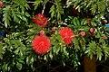 Carbonero rojo (Calliandra hematocephala) (14516685887).jpg