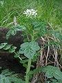 Cardamine amara subsp. opicii.JPG