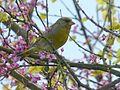 Carduelis chloris. Greenfinch in Judas Tree - Flickr - gailhampshire.jpg