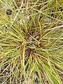 Carex extensa (12).jpg
