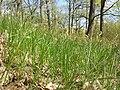 Carex praecox sl40.jpg