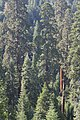 Case Mountain Giant Sequoias BLM 14.jpg