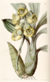 Catasetum planiceps. Edwards's Botanical Register, vol. 29, t. 9 (1843) by Sarah Ann Drake.tiff