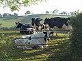Cattle, Higher Farleigh - geograph.org.uk - 2445403.jpg