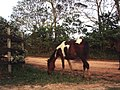 Cavalo (540026604).jpg