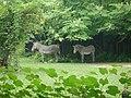 Cebras - panoramio.jpg