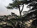 Cedars of God (Lebanon cedar forest), Lebanon.jpg