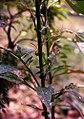 Celosia argentea 2.jpg