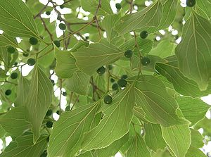 Celtis - Leaves and immature fruit of Chinese hackberry (C.sinensis)