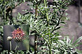 Centaurea calocephala.jpg
