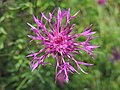 Centaurea sp. (36064221514).jpg