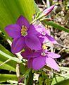 Centaurium menor. (C. erythraea subsp. majus.) - Flickr - gailhampshire.jpg