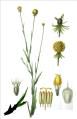 Cepalophora aromatica.png