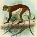 Cercopithecus denti.png