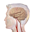 Cerebrovascular System.png