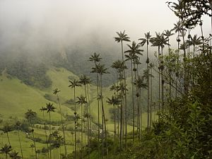 National symbols of Colombia - Panoramic of Cocora valley with wax palms