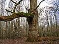 Chêne de Montaloyer (commune de Braize).jpg