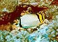 Chaetodon vagabundus by NPS.jpg