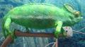 Chameleon dsc07879.jpg