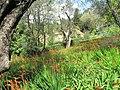 Chasmanthe bicolor (Serres de la Madone).jpg