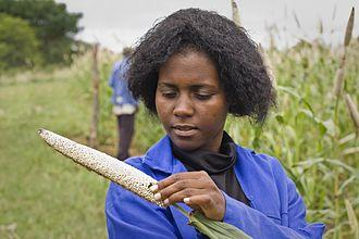 Pearl millet - Image: Checking pearl millet crop