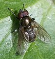 Cheilosia sp. possibly pubera (male) - Flickr - S. Rae.jpg