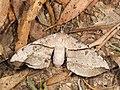 Chelepteryx chalepteryx (41592828824).jpg