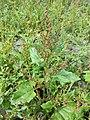 Chenopodium chenopodioides sl32.jpg