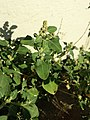 Chenopodium vulvaria sl23.jpg