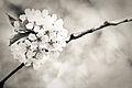 Cherry Blossom Ball (4553024228).jpg