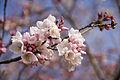 Cherry Blossoms (13741230464).jpg