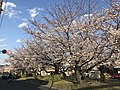 Cherry blossoms near Zasshonokuma Station 20190401-11.jpg