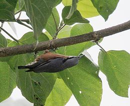 Chestnut-bellied Nuthatch (Sitta cinnamoventris) at Jayanti, Duars, West Bengal W IMG 5838.jpg