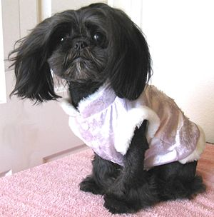English: My black Shih Tzu, Lily Rose, wearing...