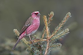 Chinese White-browed Rosefinch.jpg