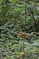 Chipe Gorra Rufa, Rufous Capped Warbler, Basileuterus rufifrons (11916566956).jpg