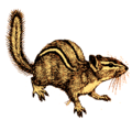 Chipmunk (white background).png