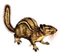 Chipmunk (white background).png