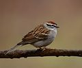 Chipping Sparrow (33838873606).jpg