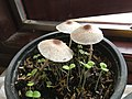 Chlorophyllum Molybdites in Vietnam house.jpg