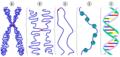 Chromatin chromosom.png