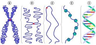 Chromosom – Wikipedia