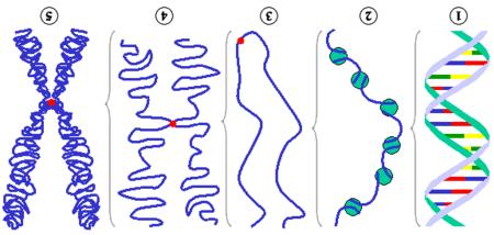 Chromosom – Biologie